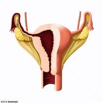 Ligament large de l'utérus