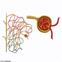 Glomérule rénal