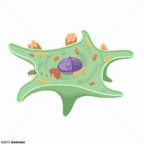 Fibroblastes