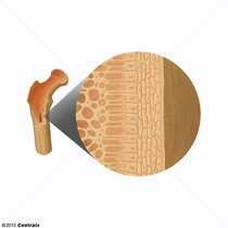 Ostéoblastes