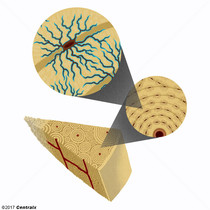 Ostéocytes