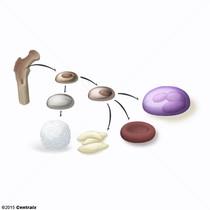 Granulocytes neutrophiles