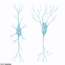 Interneurones