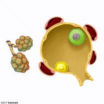 Macrophages alvéolaires