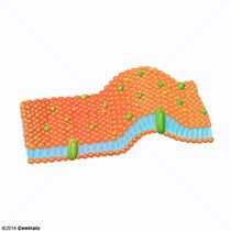 Structures de la membrane cellulaire