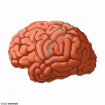 Cortex somatosensoriel
