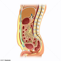 Graisse intra-abdominale