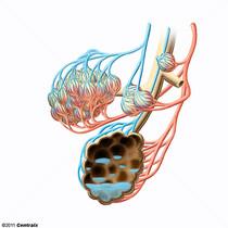 Eau extravasculaire pulmonaire