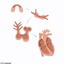 Coeur foetal