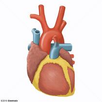 Ligament artériel