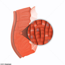 Myocytes cardiaques