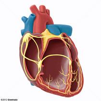 Système de conduction du coeur