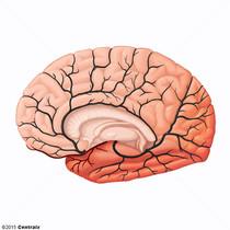 Artère cérébrale moyenne