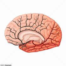 Artère cérébrale postérieure