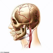 Artères temporales