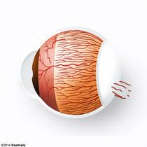 Artères ciliaires