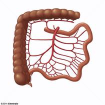 Artère mésentérique supérieure
