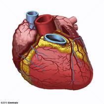 Vaisseaux coronaires