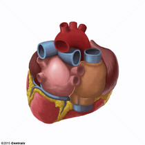Sinus coronaire