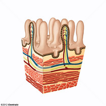 Muqueuse intestinale