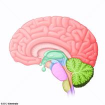 Syst�me nerveux central