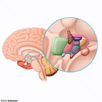 Hypothalamus antérieur