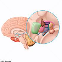 Hypothalamus médial