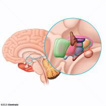 Hypothalamus postérieur
