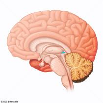 Épithalamus