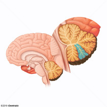 Cortex cérébelleux