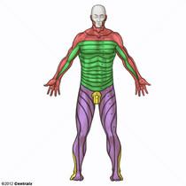 Dermatomes Vue supérieure