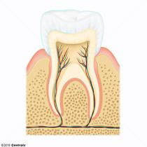 Émail dentaire