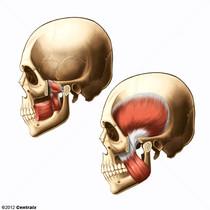 Muscles masticateurs