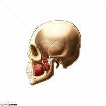 Muscles ptérygoïdiens
