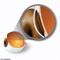 Épithélium pigmentaire oeil